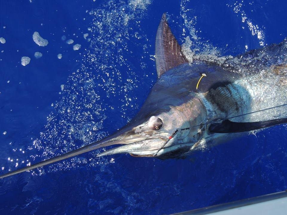 Hawaii Deep Sea Fishing for Striped Marlin